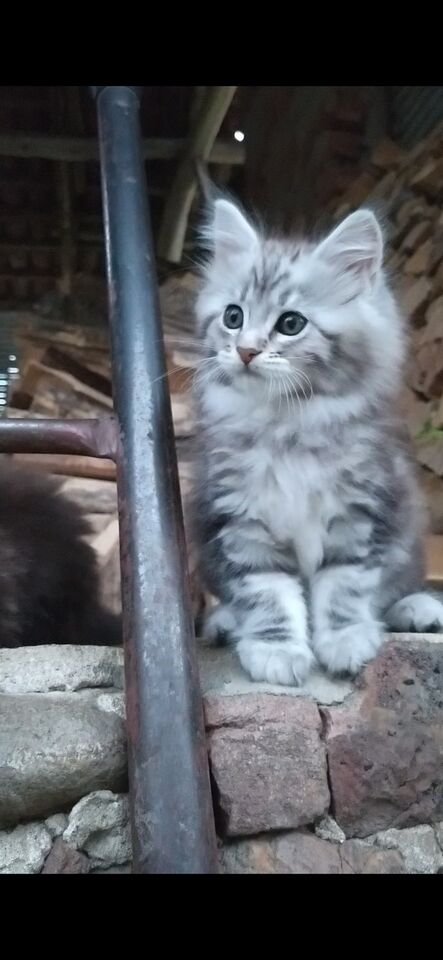 Stallone Maine Coon per monta 6