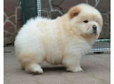 Chow chow scampagne