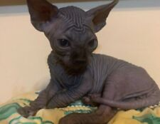 Cucciolo canadian sphynx disponibile