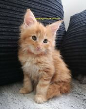 Maine Coon di 75GG