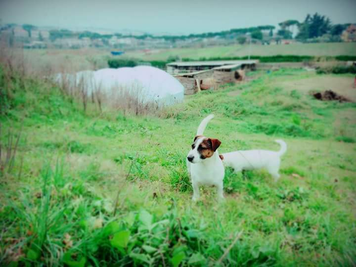 Accoppiamento Jack russell terier
