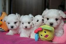 Cucciolo di maltese mini toy