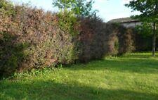 Legna per camino (alberi di 'Leylandii')