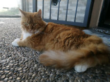 Simil maine coon
