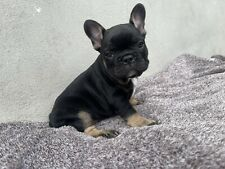 Bulldog francese Black and Tan
