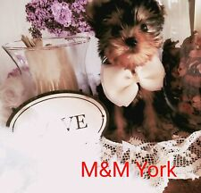 Cuccioli Yorkshire mini/Toy con pedigree ENCI