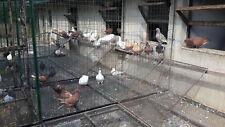 Piccioni e colombi da carne razza california