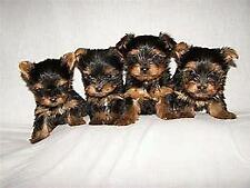 York shire terrier mini toy