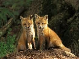 vacavillefoxes