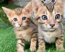 Gattini di Bengala