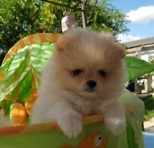 Puppy volpino pomerania mini