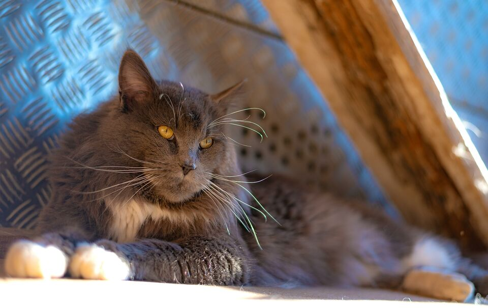 Stallone Maine Coon Pedigree