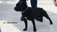 Staffordshire Bull Terrier disponibile per monte