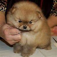 Cucciolo spitz tedesco toy