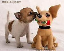 Cuccioletto di chiwawa pincher