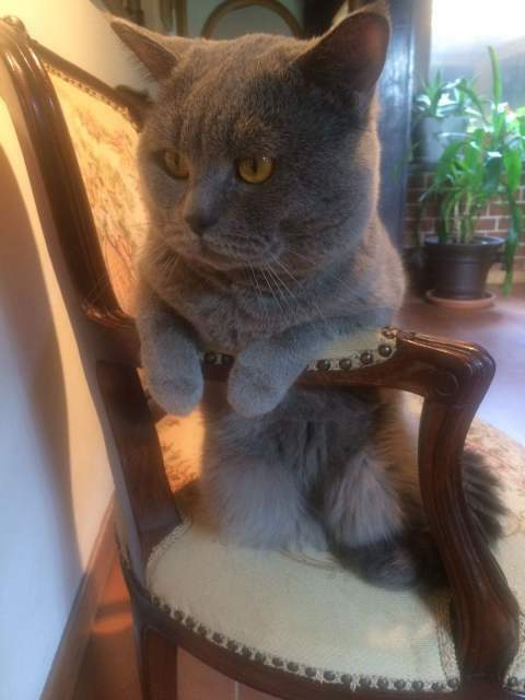Accoppiamento British Shorthair 3