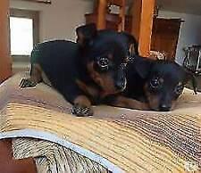 Pincher puppyes