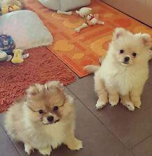 Cuccioli di spitz di pomerania