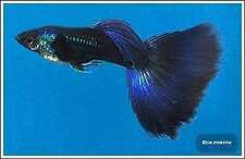 Scambio Guppy Blue Moscow