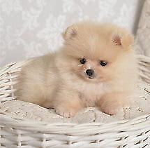 Cuccioli di spitz mini toy