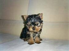 Cucciolo di york shire terrier