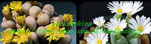 cactuschina
