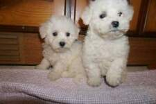 Barboncino maltese toy