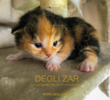 Ultime gattine siberiane con pedigree