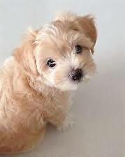 Cucciolo di maltipoo dolcissimo color crema