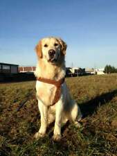 Golden Retriever maschio Accoppiamento