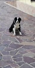 Border Collie per Cucciolata
