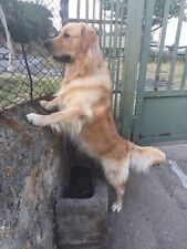Cerco: Golden retriever per accoppiamento