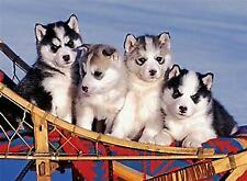 Cucciolata di siberian husky