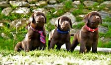 Labrador Retriever choccolate