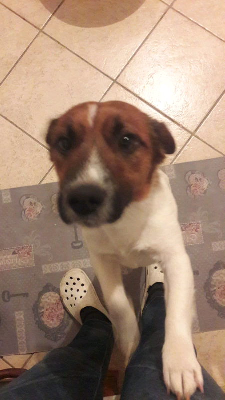 Jack Russell terrier per accoppiamento