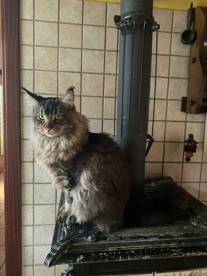 Stallone Maine Coon per monta 3
