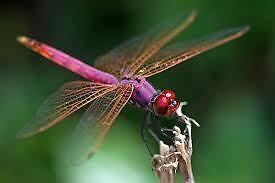 dragonflysperch
