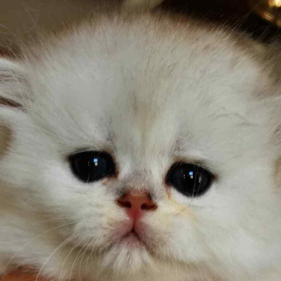 Cuccioli Scottish Fold Longhair