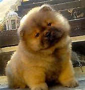 Chow chow perfetto