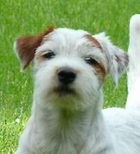 jack russell disponibile per monte