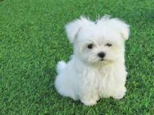 Cuccioli di maltese mini toy