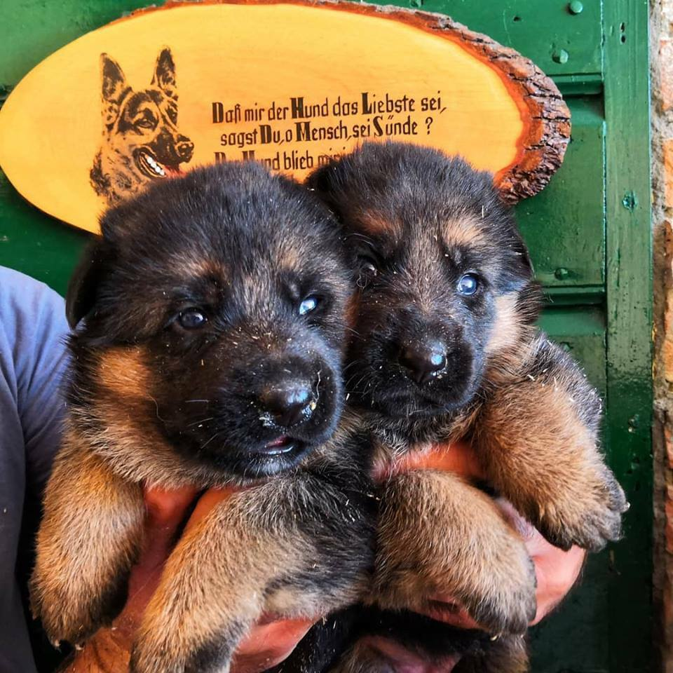 Cuccioli di Pastore Tedesco – Allevamento con Pedigree 3