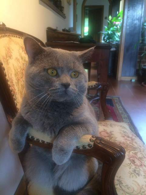 Accoppiamento British Shorthair 2