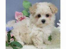 Cuccioletto di maltipoo mini toy