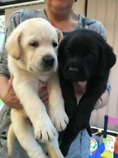 Disponibili labrador retriever cuccioli