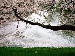 Sakura Tactical