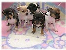 Cuccioli di pincher chiwawa