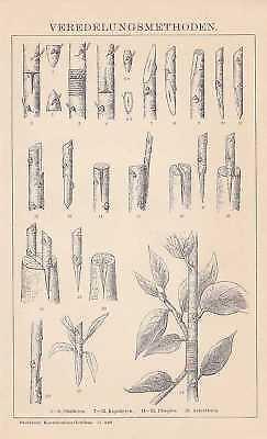 VEREDELUNG Obstbau Okulieren Pfropfen STICH um 1898 Veredelungsarten