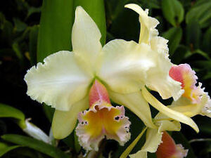 58-Blc-George-King-034-Southern-Cross-034-AM-AOS-NICE-Spectacular-Plant-In-Sheath