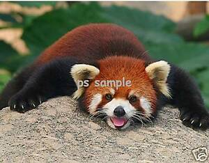 RED-PANDA-Flexible-Fridge-Magnet